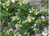 Gorski vrednik (Teucrium montanum)