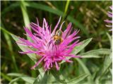 Centaurea gaudinii