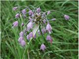 Gredljasti luk (Allium carinatum carinatum)