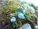 Planinska spominčica (Myosotis alpestris)