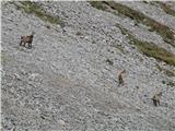 Kalški grebenDomačini na melišču pod Kalško goro