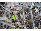 Katera rožca je to?Na gozdnih tleh kukajo ven prve zelene lepotičke.