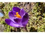 Katera rožca je to?pomladanski žafran