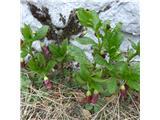 Katera rožca je to?kranjska bunika - Scopolia carniolica