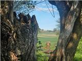 Kugla /Sotinski breg/Izvir slatine v Nuskovi skozi debele vrbove veje