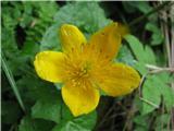 Katera rožca je to?Kalužnice so tu tudi v polnem cvetu.