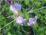 Katera rožca je to?Na bližji osončeni brežini najdem vsako pomlad tudi modrikasti različek te krvomočnice.