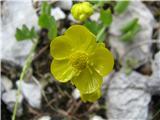 Katera rožca je to?Izrodna zlatica .