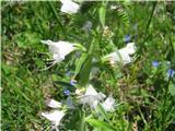 Katera rožca je to?Navadni gadovec-albin.
