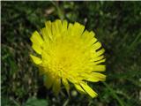 Katera rožca je to?Cvet dolgodlakave škržolice -Hieracium pilosella.