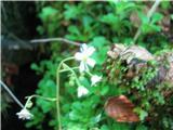 Katera rožca je to?Samo dokaz , da klinolistni kamnokreč že cvete, ker slikca ni uspela.