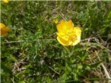 Katera rožca je to?koroška zlatica