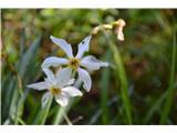 Katera rožca je to?Narcise že odcvetajo.