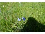 Katera rožca je to?Francoski lan-Linumalpinum subs julicum