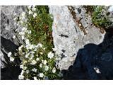 Katera rožca je to?Smiljke z Vremščice.