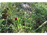 Katera rožca je to?Klinček se mi ni pustil slikati.