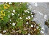 Katera rožca je to?Smiljka , ki raste po planinah pod Krnom.