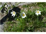 Katera rožca je to?Ogromno je alpskih kosmatincev.