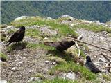 Storžič ptice na Storžiču