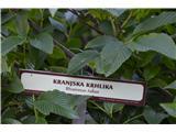 Katera rožca je to?Kranska krhlika.Grmovnice manj poznam.ima zelenkastobele cvetove . Zrele jagode so črne -je strupena rastlina.