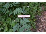 Katera rožca je to?Navadni gozdni koren. Ta kobulnica še ne cveti. Je pa zelo pogosta.Rečemo ji tudi angelika.