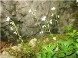 Katera rožca je to?Raste v senci ,običajno po skalah. Veliko ga vidimo ob poteh .