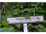 Katera rožca je to?Zeleni volčji jezik.
