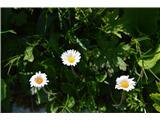 Katera rožca je to?Te marjetke pa res rastejo povsod, samo , da so nebine.