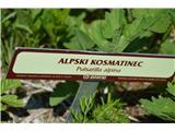 Katera rožca je to?Alpski kosmatinec.Vsi kosmatinci so zaščiteni.