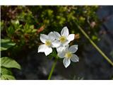 Katera rožca je to?Trenutno je v polnem cvetu. Na koncu botanične poti je sedaj v polnem cvetu.