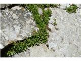 Katera rožca je to?Naj bi bila prav na koncu botanične poti. Raste na veliki skali -v skalni špranji. Še ne cveti.
