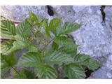 Katera rožca je to?Ravno tako so užitni mali modri plodovi.
