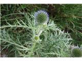 Katera rožca je to?ko zacveti ima čudovite modre cvetove