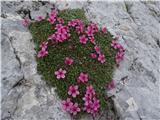 Na Triglav?Triglavska roža