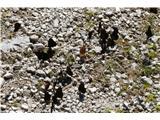 Trupejevo poldne - Vošcatudi gorski rjavčki so nas pričakali na poti