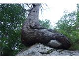 Ojstricastaro drevo ob poti