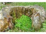Komenoddaljiva se in poiščeva vrt deteljic v zavetju štora