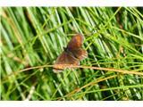 Komenkar nekaj metuljev je spalo na travah