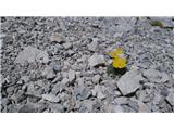 Grintovec in KočnaIz kamenja vzklila... :)
