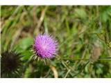Katera rožca je to?Verjtno kimasti bodak-Carduus nutans ssp. nutans