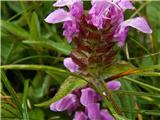 Katera rožca je to?velecvetna črnoglavka