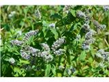 Katera rožca je to?Dolgolistna meta-Mentha longifolia.