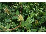 Katera rožca je to?Slatki grahovec-Astragalus glycyphillos.