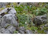 Katera rožca je to?Samo dokaz, da je  res v teh skalah nad cesto nekako v senci cvetel hostov kamnokreč.