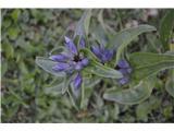 Katera rožca je to?Na pašniku na Križki planini je ogromno navskrižnolistnega svišča. V glavnem še ne cveti.