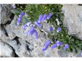 Katera rožca je to?Prve zoisove zvončice pa najdem v skalah na poti na planino Dolge njive.Melišča pa so tu že brez cvetja.
