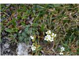 Katera rožca je to?Sivozeleni kamnokreč pa je že tudi odcvetel. Od skorjastega pa najdemo samo listne rozetice.Zvezdastega pa nisem našel.