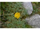 Katera rožca je to?V meliščih Kalcev skoraj edini kernerjev mak. Če pridemo ob pravem času je vse rumeno.