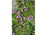 Katera rožca je to?Na območju Kalškega grebena sem našel skoraj edino rastišče brezstebelne lepnice. Smiljke pa je čisto požgalo.