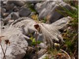 Katera rožca je to?frizura alpske velese